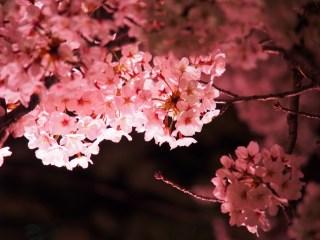 2017夜桜ライトアップ東京都心で楽しむノスタルジーを感じる名所5選