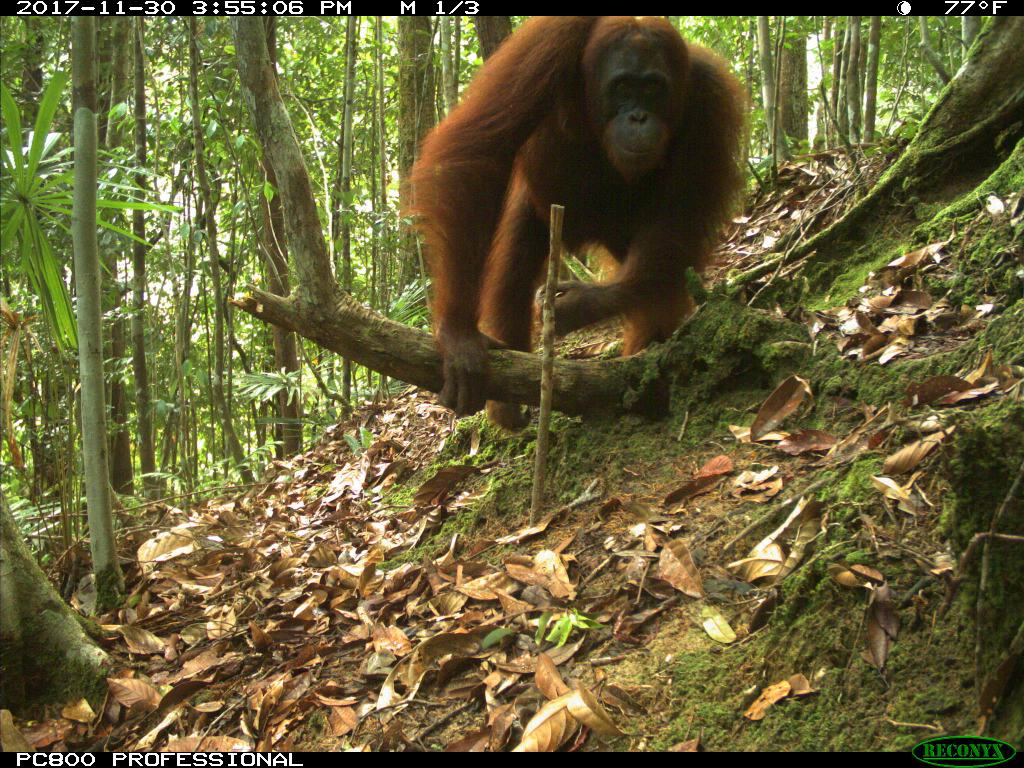 This image has an empty alt attribute; its file name is Orangutan-1024x768.jpg