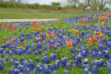 Get your camera ready, Austin: Bluebonnets are coming earlier than expected