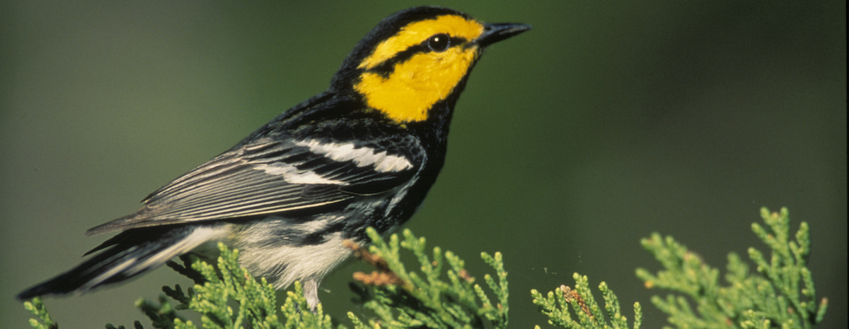 The Texas Public Policy Foundation intends to file a lawsuit to remove the golden-cheeked warbler from the Endangered Species List.