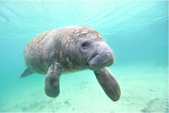 New treatment being developed for manatees poisoned by red tide