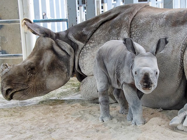 Rhino birth at Zoo Miami historic first in preserving rare species