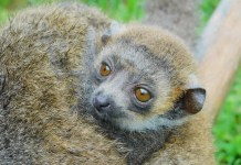 Endangered Mongoose lemur first to be born at Zoo Miami