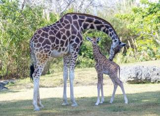 As one baby giraffe makes zoo debut, another is born