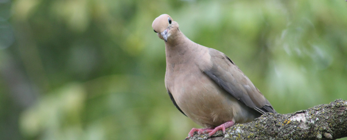 A silly looking dove