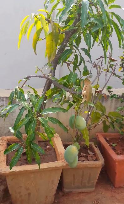 planta de mango en maceta
