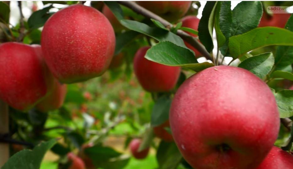 como sembrar manzanas: consejos, cuidados y cosecha