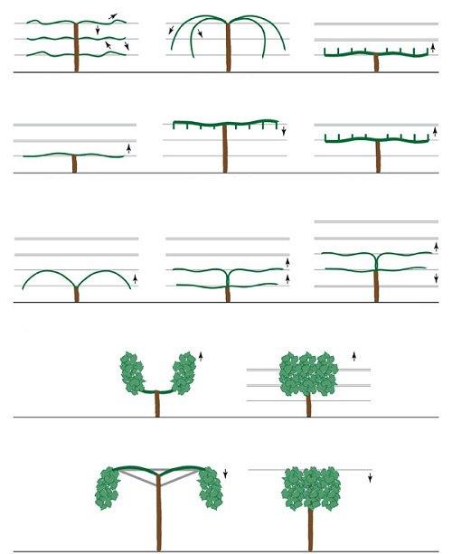 estructuras de uvas