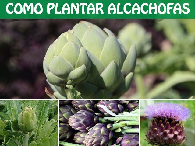 como plantar alcachofas