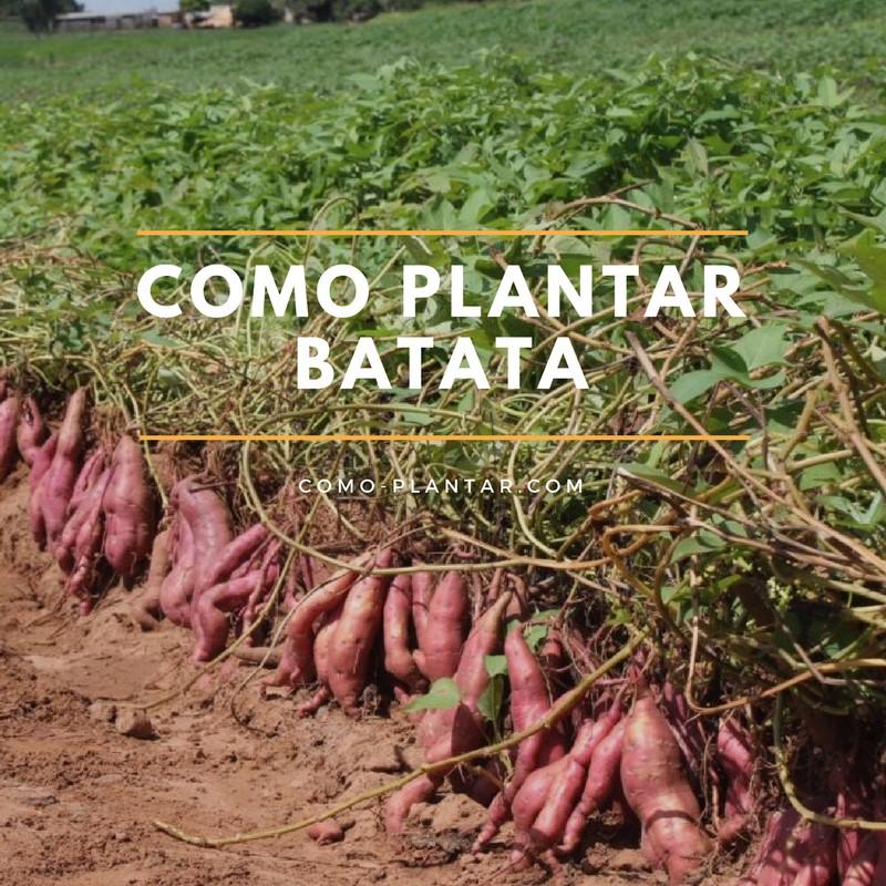 Como plantar batatas o camotes: Proceso, cuidados, Cosecha y curado