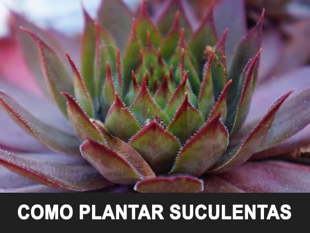 Como plantar suculentas, cuidados, frecuencias de riego y sustrato ideal