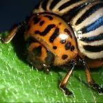 Escarabajo de la Patata: Control Biológico