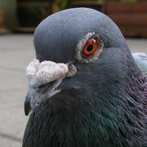 Face do pombo