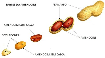 Partes do Amendoim