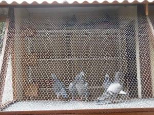 Os Primeiros Pombos