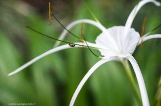 Como cuidar de lírio-aranha Hymenocallis littoralis