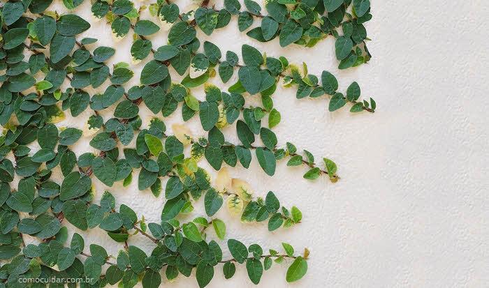 Como cuidar de unha-de-gato, Ficus pumila
