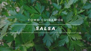 Como cultivar salsa em vaso