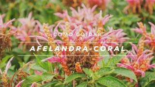 Como cuidar de afelandra-coral, Aphelandra-sinclairiana