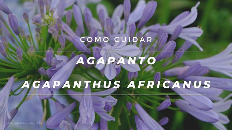 Como cuidar de agapanto, Agapanthus africanus