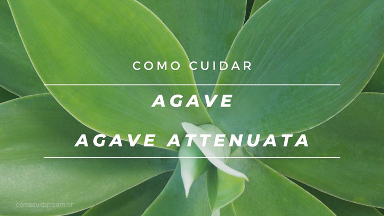 Como cultivar agave-dragão, Agave attenuata