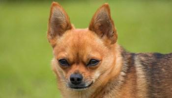 Los Perros Toy Y Tacita De Te Un Fraude Como Educar A Un Cachorro