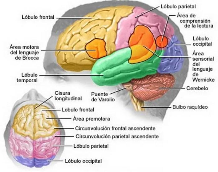 Áreas principales del cerebro