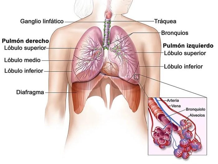El interior de los pulmones y los alvéolos capilares