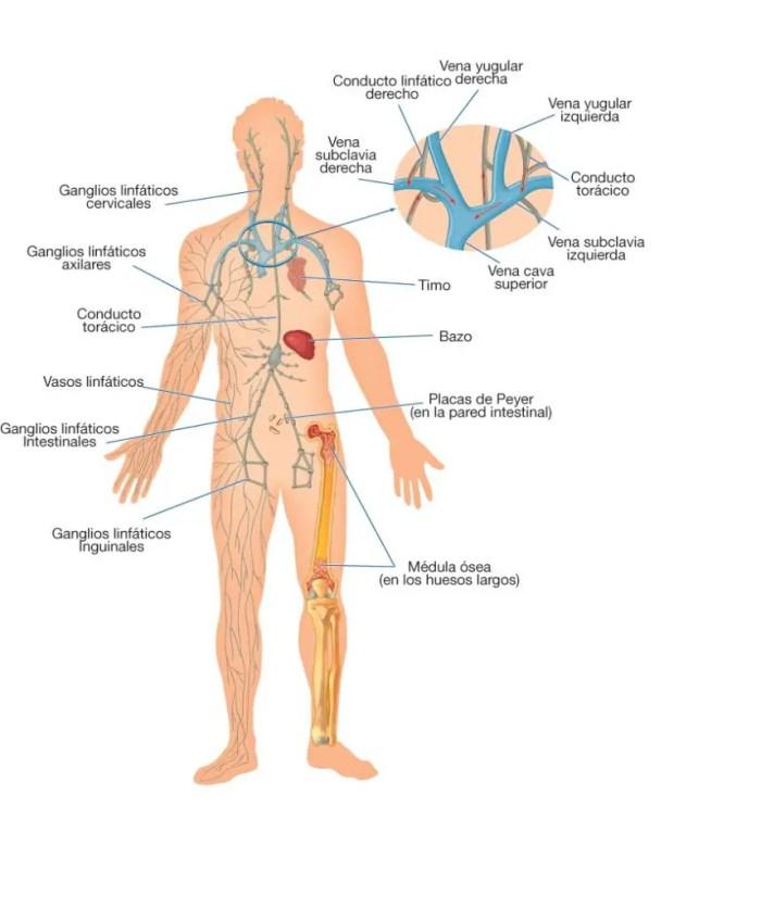 Descripción del sistema linfático, sus conductos y sus conexiones