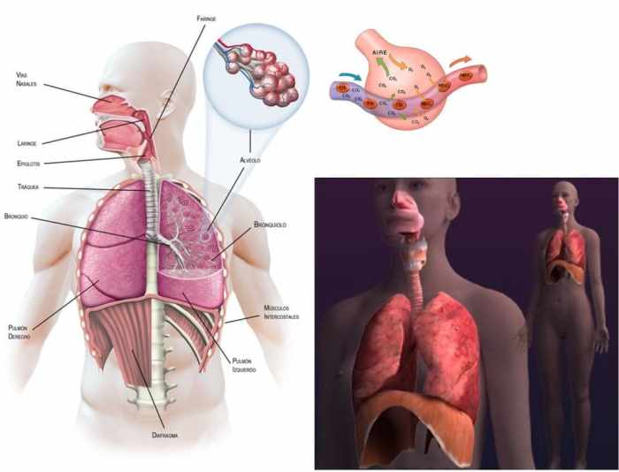 Los músculos y órganos involucrados en la respiración