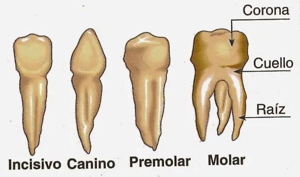 Cada diente tiene una función determinada al masticar la comida, por eso tienen una forma diferente