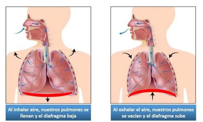 El diafragma ayuda a que la respiracion se lleve a cabo expandiendose y contrayendose