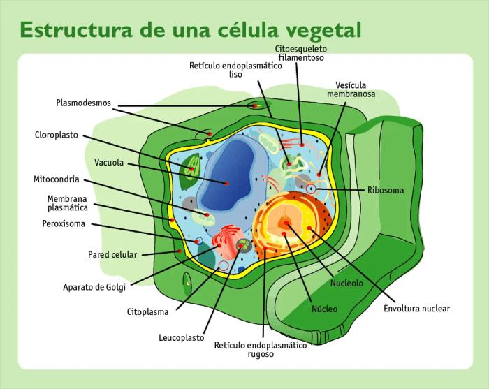 El nucleo de la celula vegetal es como su control central, encargado de las funciones mas importantes