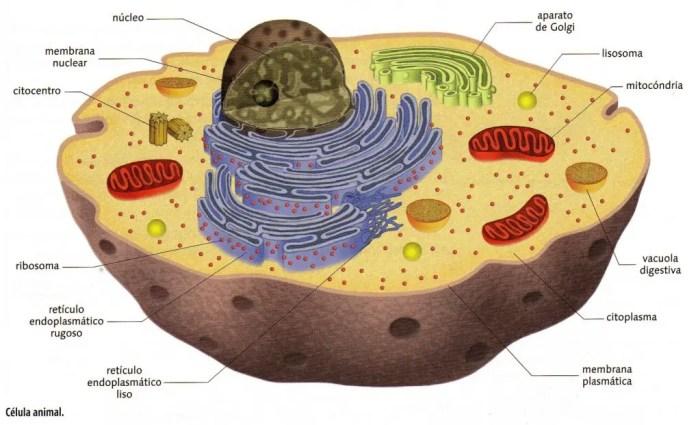 El núcleo es la parte más importante de la célula, en él se almacena el ADN