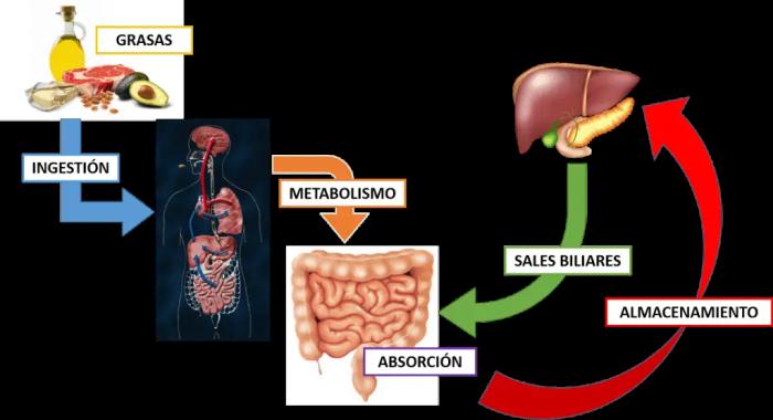 La bilis que produce el hígado ayuda a descomponer las grasas para que sean almacenadas o expulsadas al exterior