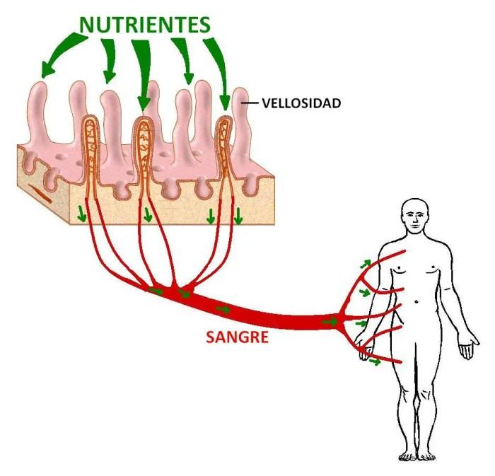 El intestino absorbe los nutrientes a traves de las vellosidades, enviandolos al torrente sanguineo de todo el cuerpo