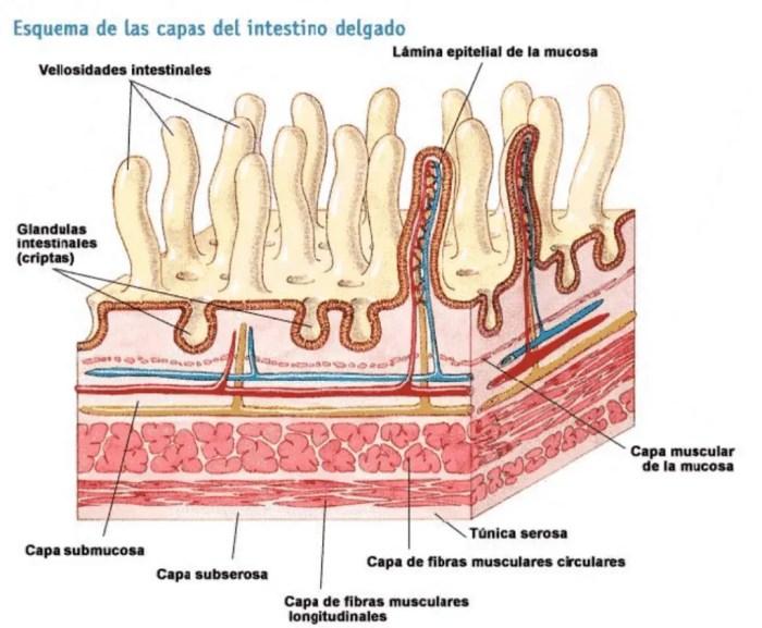 El intestino delgado contiene vellosidades en sus paredes, que estan formadas por varias capas