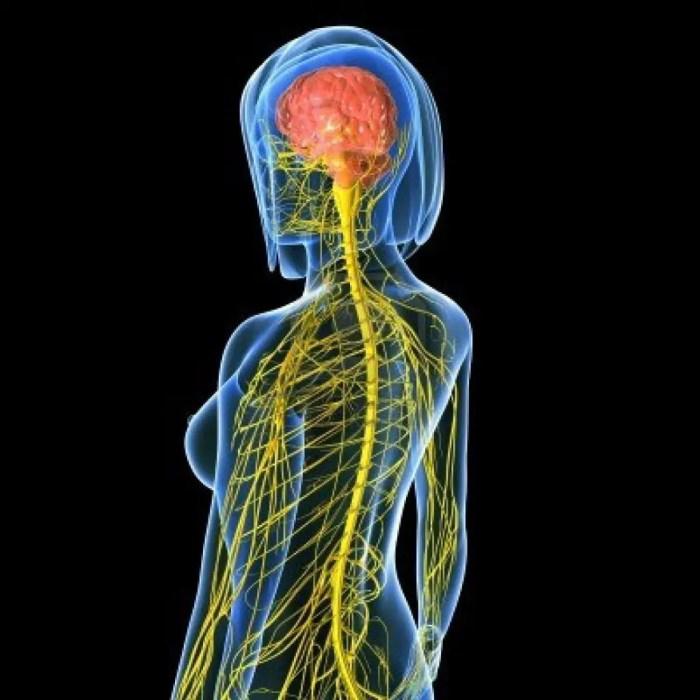 El-sistema-nervioso-central-está-formado-por-el-cerebro-y-la-médula