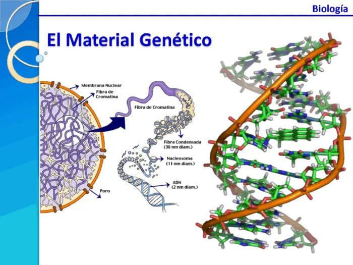 La estructura molecular del adn tiene forma de doble helice, compuesta por nucleotidos