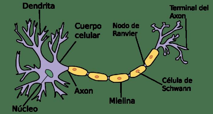 Estructura neuronal. Fuente: upload.wikimedia.org