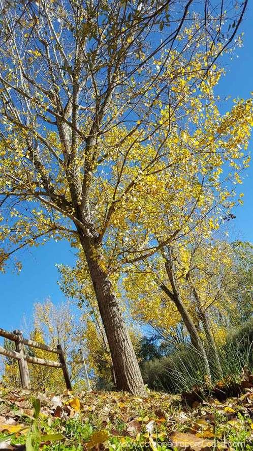 arbol otoño escalona toled
