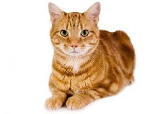 gato caracteristicas