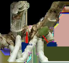 Gema (Como recuperar orquídea que está morrendo)
