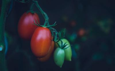 Tomato Tips in Challenging Times