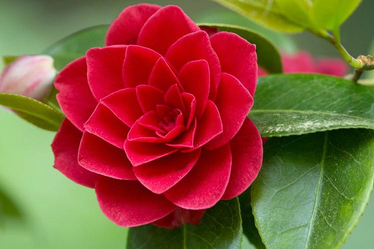 Camellias – Star of the Winter Garden