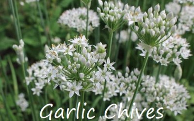 Less Common Perennial or Self Seeding Herbs that Grow Well in the Comox Valley