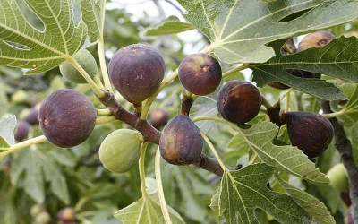 Pruning Fig Trees in the Comox Valley
