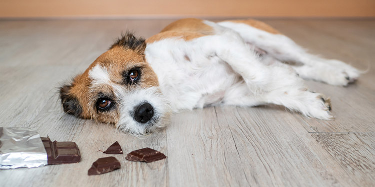 Chocolate is toxic for dogs