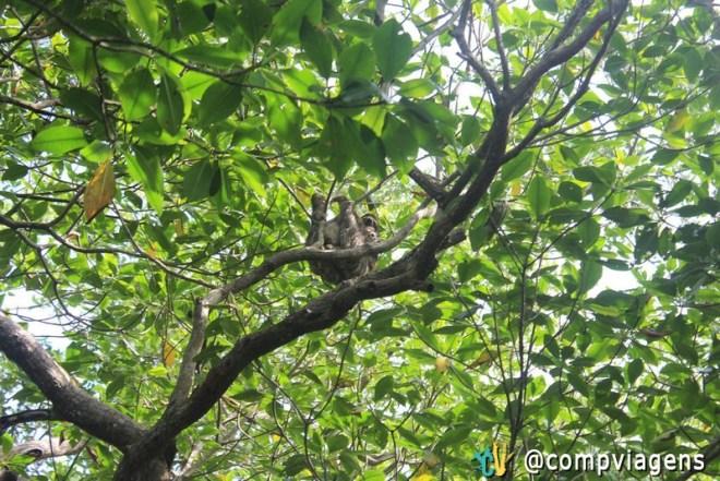 Bicho Preguiça em uma das ilhas de Bocas del Toro