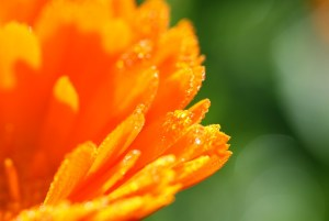 How to feel rich instantly_calendula_medicinal plant_nature_summer